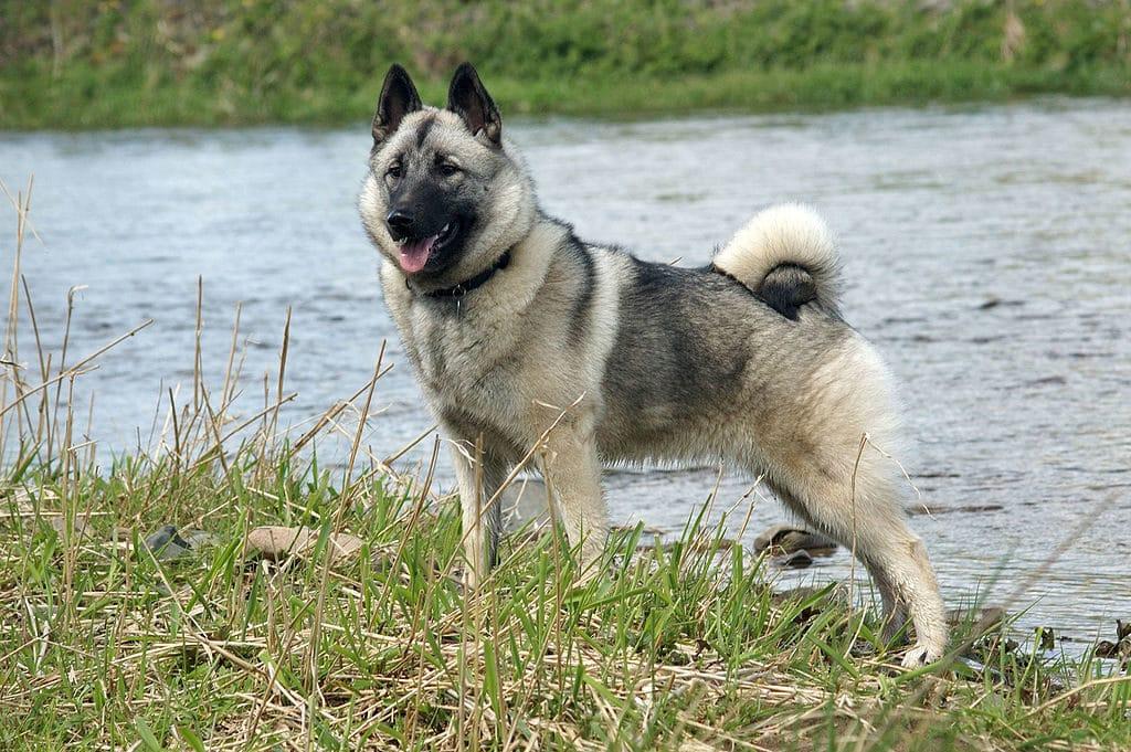 Der norwegische Elchhund liebt die Natur.