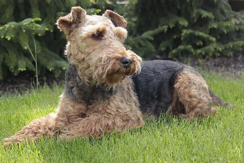 Der Welsh Terrier hat ein sehr gutmütiges Wesen.
