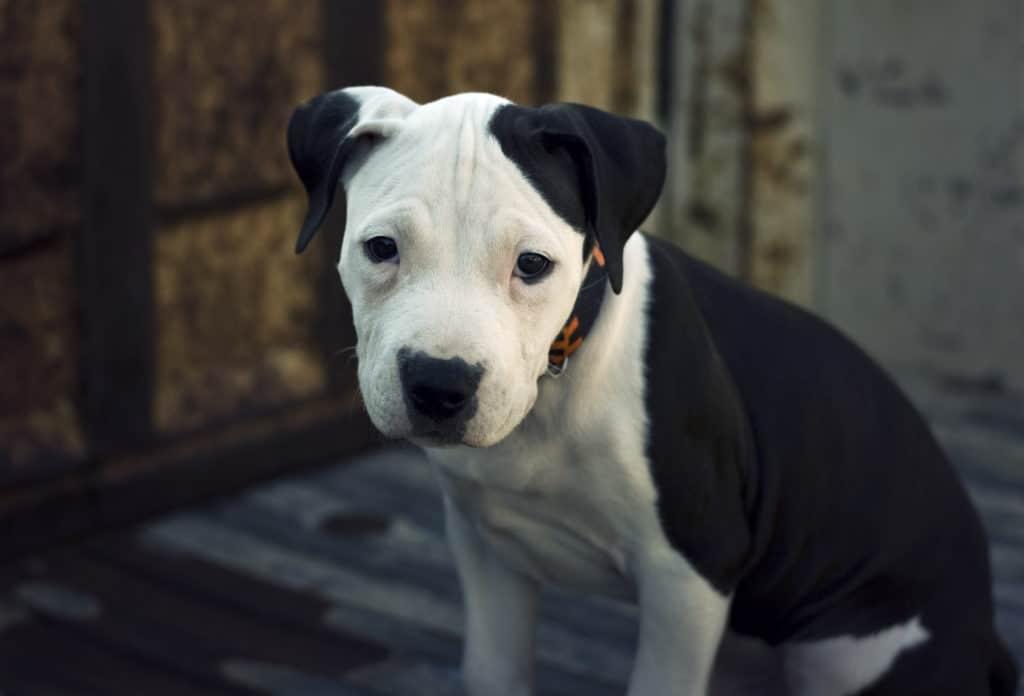 Auch der amerikanische Pitbull Terrier ist eine mittelgroße Hunderasse.