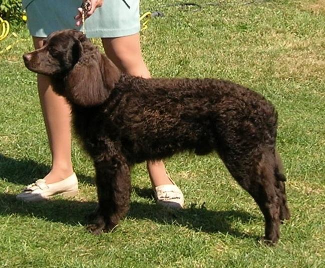 Der amerikanische Wasser Spaniel ist eine beliebte mittelgroße Hunderasse.