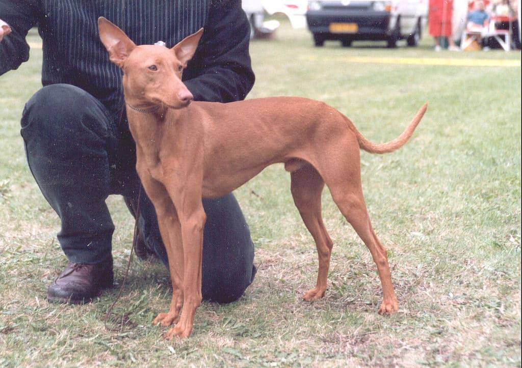 Der Cirneco dell Etna ist eine sehr aktive, mittelgroße Hunderasse.