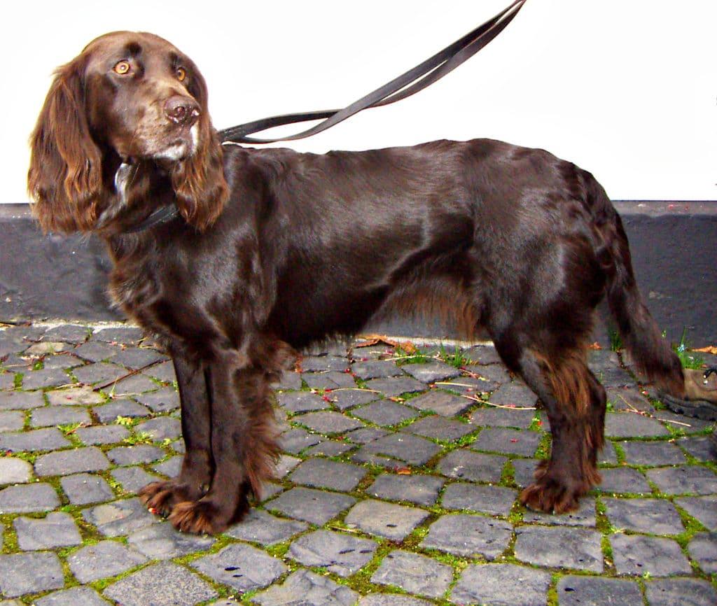 Der deutsche Wachtelhund ist ein beliebter Jagdhund.