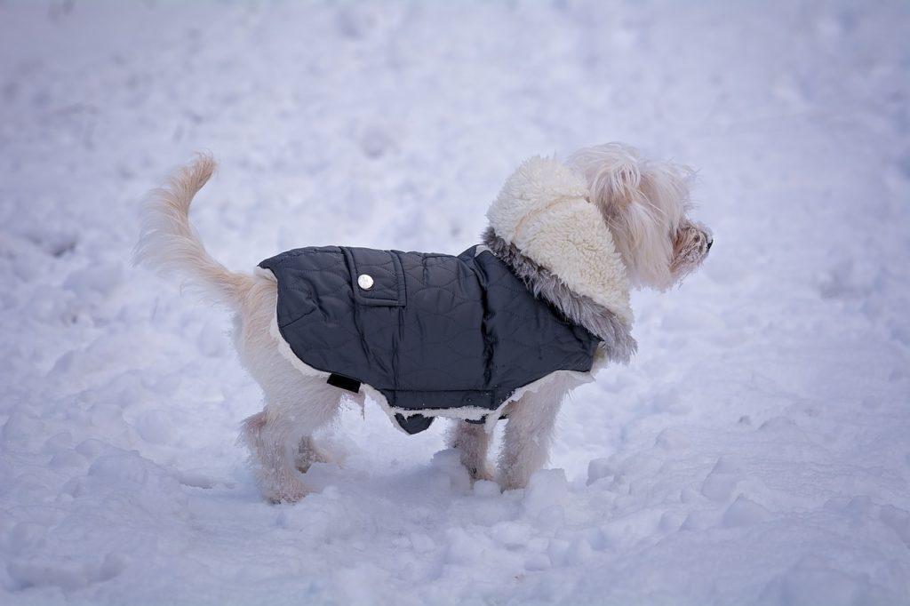Malteser Hund im Schnee