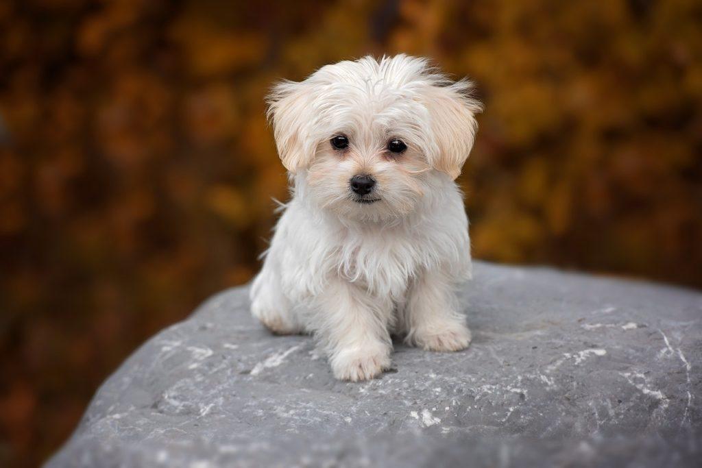 Kleiner Malteser Hund auf Stein