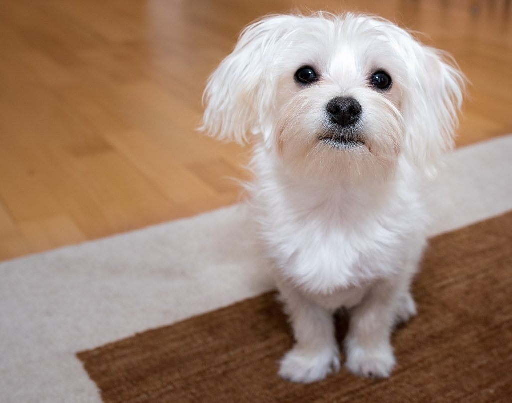Malteser Hund in der Wohnung