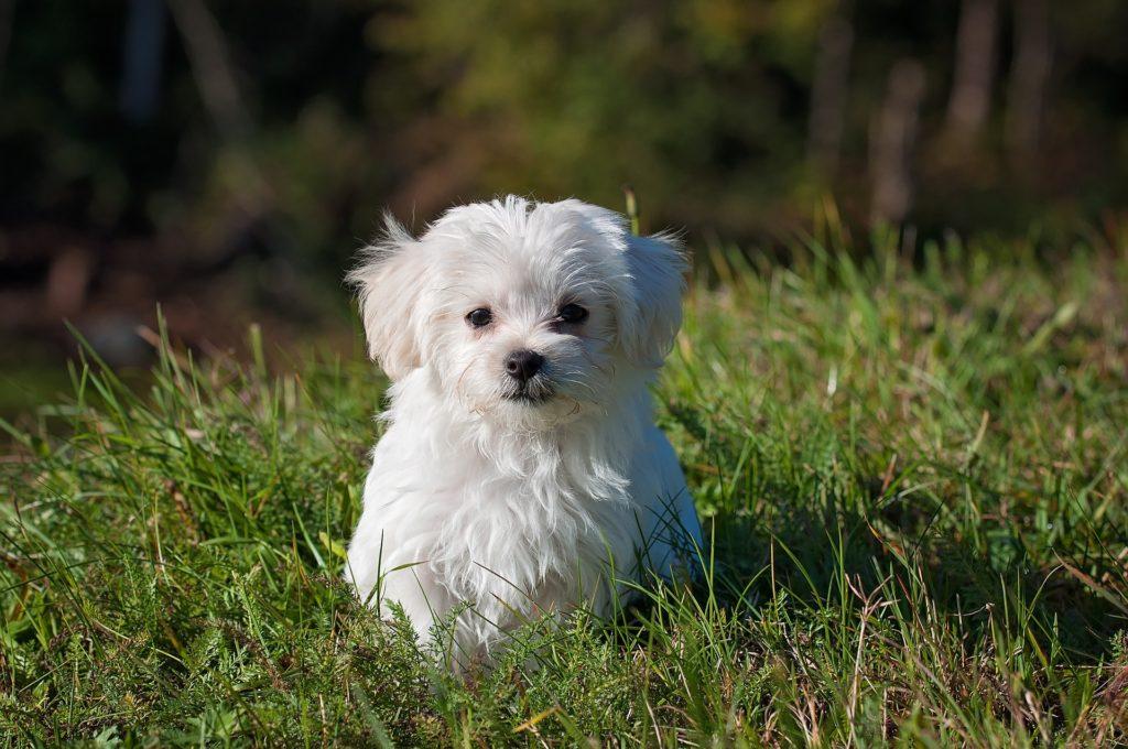 Malteser Hund auf der Wiese