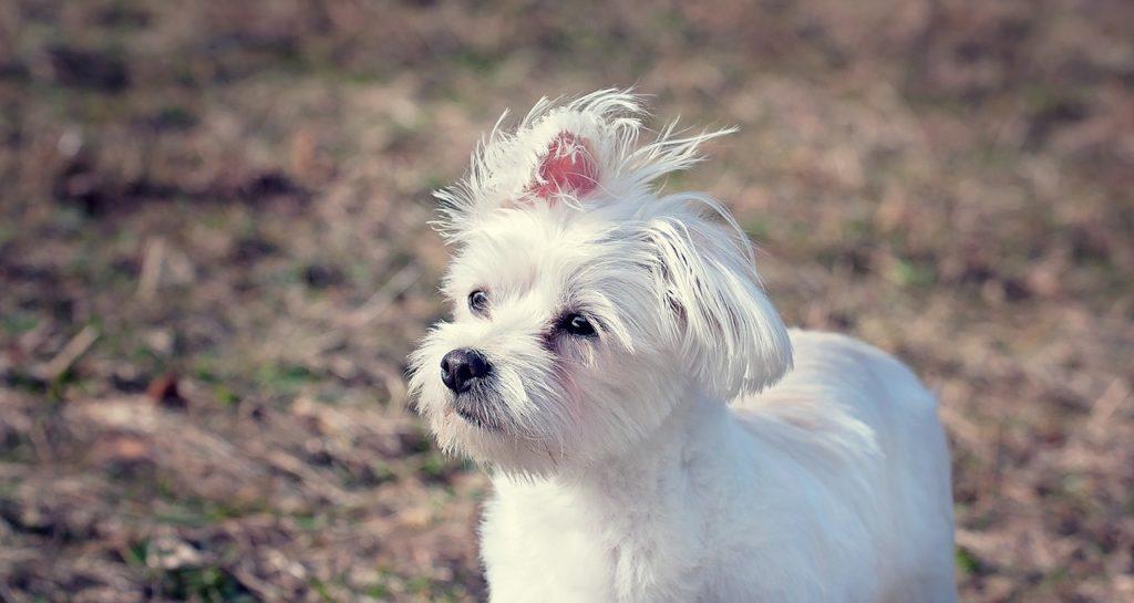 Malteser Hund im Freien