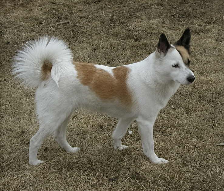 Der Norbottenspitz ist ein sehr guter Familienhund.