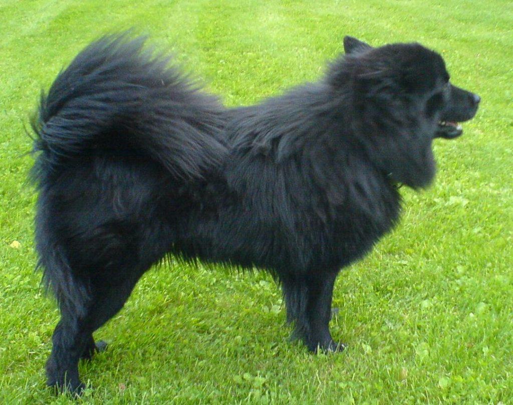 Der schwedische Lapphund wird zum Ziehen von Schlitten eingesetzt.