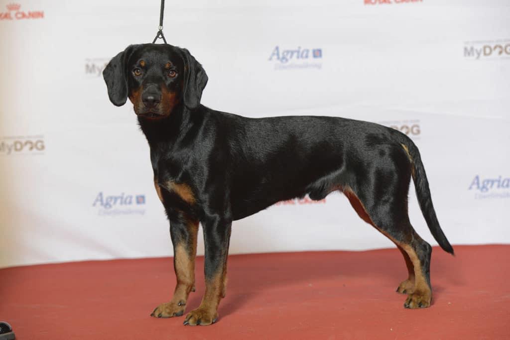 Der Slovensky Kopov ist ein sehr aktiver Hund und braucht viel Bewegung.