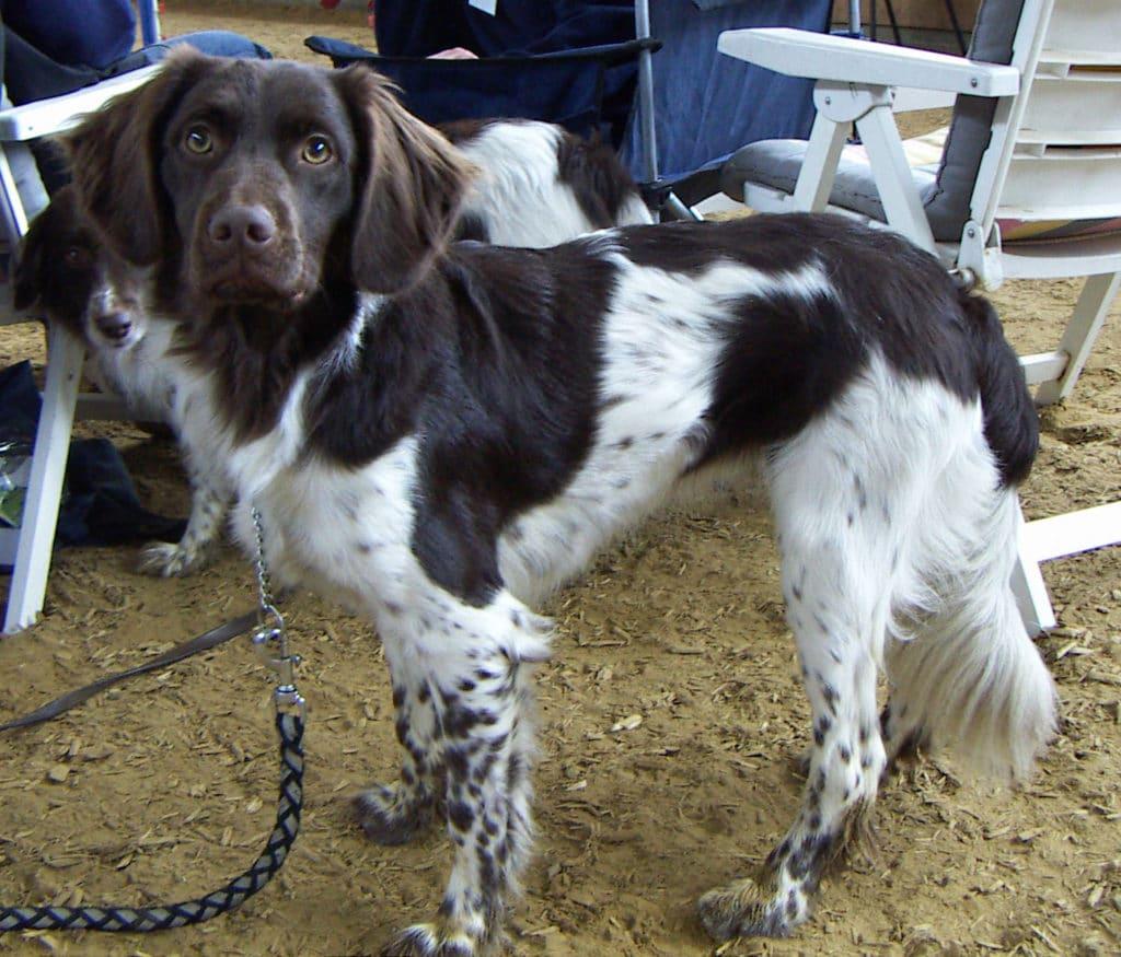 Stabyhounds sind sehr begehrt.