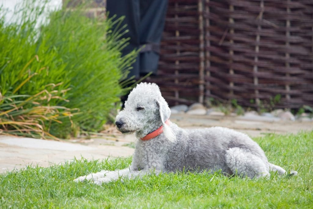 Auch der Bedlington Terrier hat ein aufwändiges Fell.