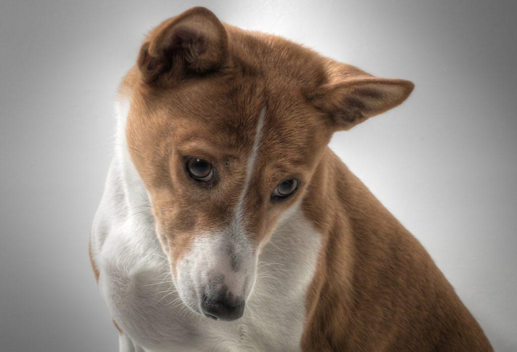Ein Basenjii ist ein mittelgroßer Hund.