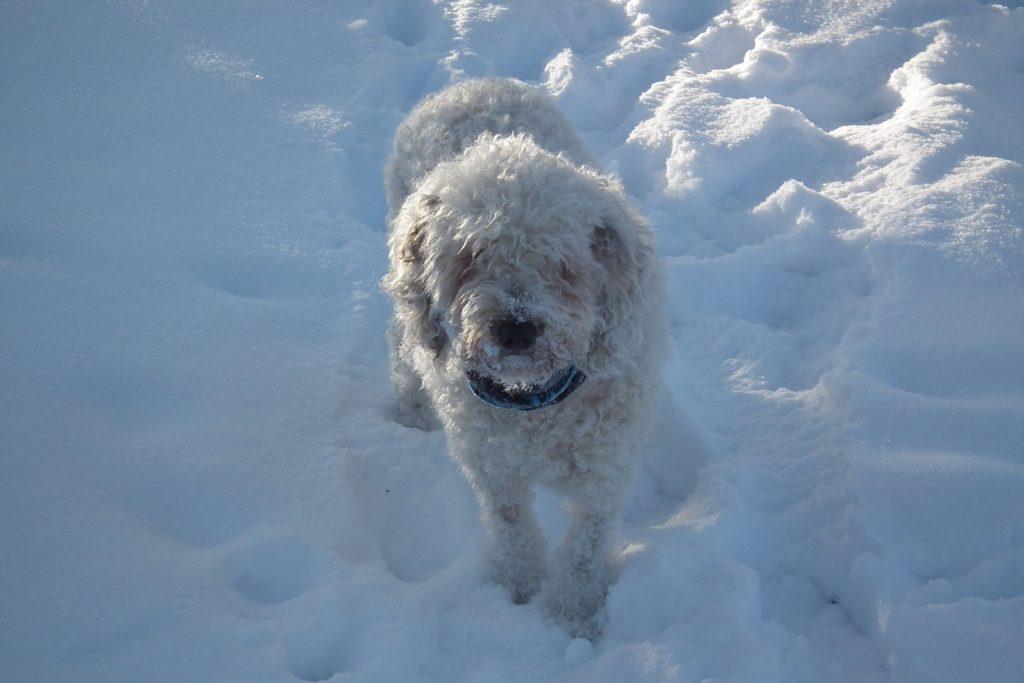 Der spanische Wasserhund lässt sich sehr leicht erziehen.