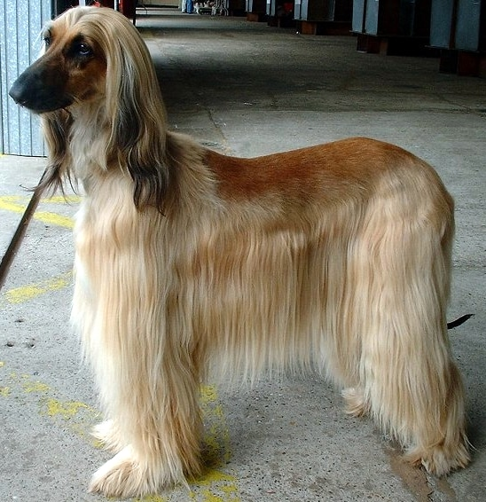 Der Afghanischer Windhund braucht viel Bewegung.