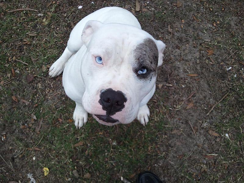 Die Catahoula Bulldogge ist nicht als eigenständige Rasse anerkannt.