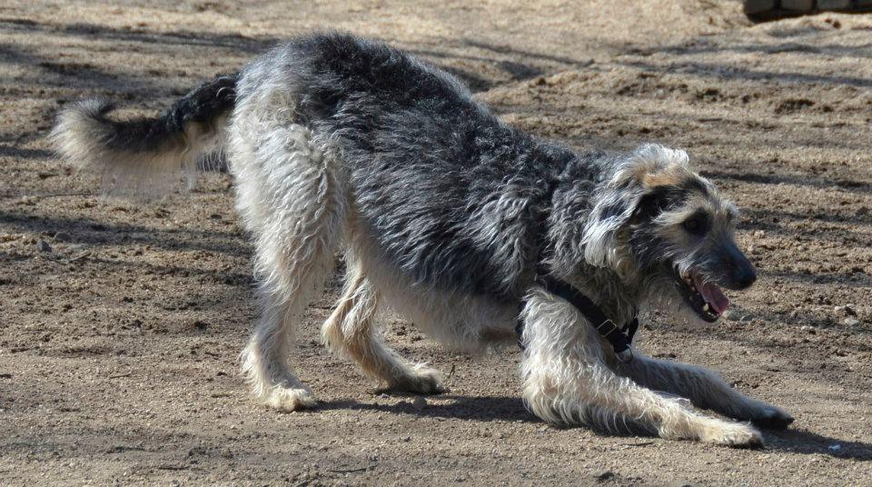Der Deerhound ist sehr aktiv.