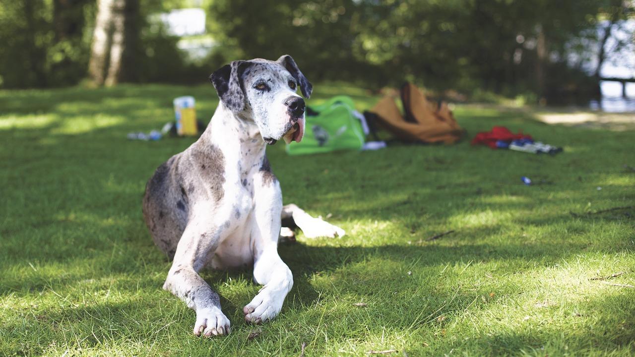 Die Deutsche Dogge ist ein sehr großer Hund.