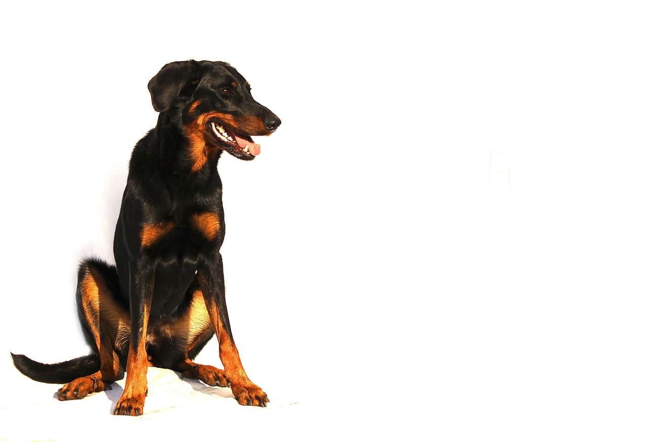 Der Beauceron ist eine seltene, große Hunderasse.
