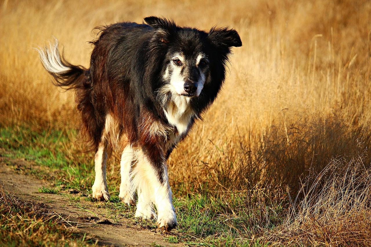 Der Collie ist sehr beliebt bei Hundehaltern.