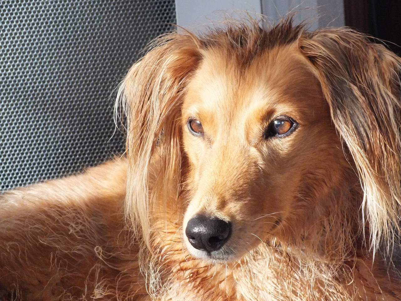 Auch der Saluki ist eine beliebte Hunderasse.