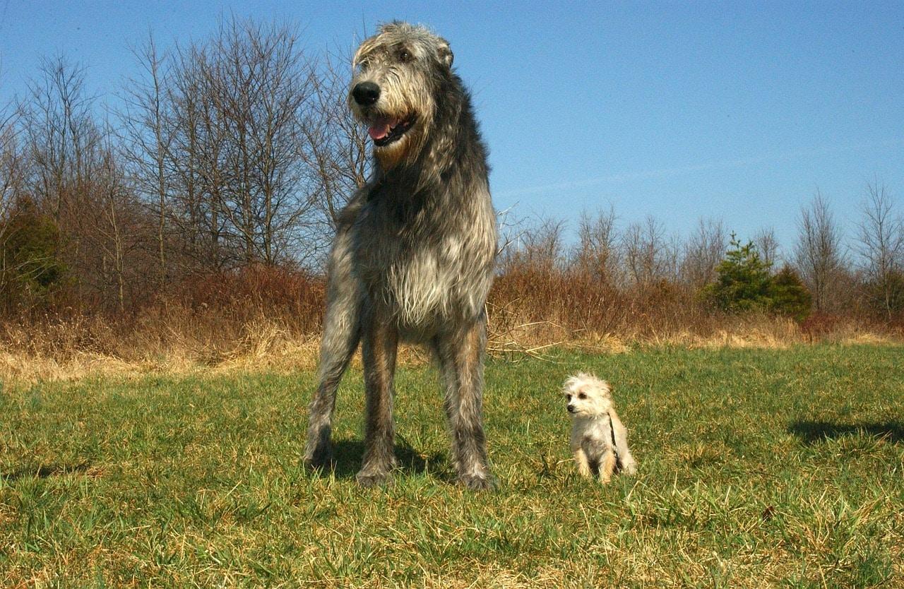 Irischer Wolfshund mit kleinem Hund