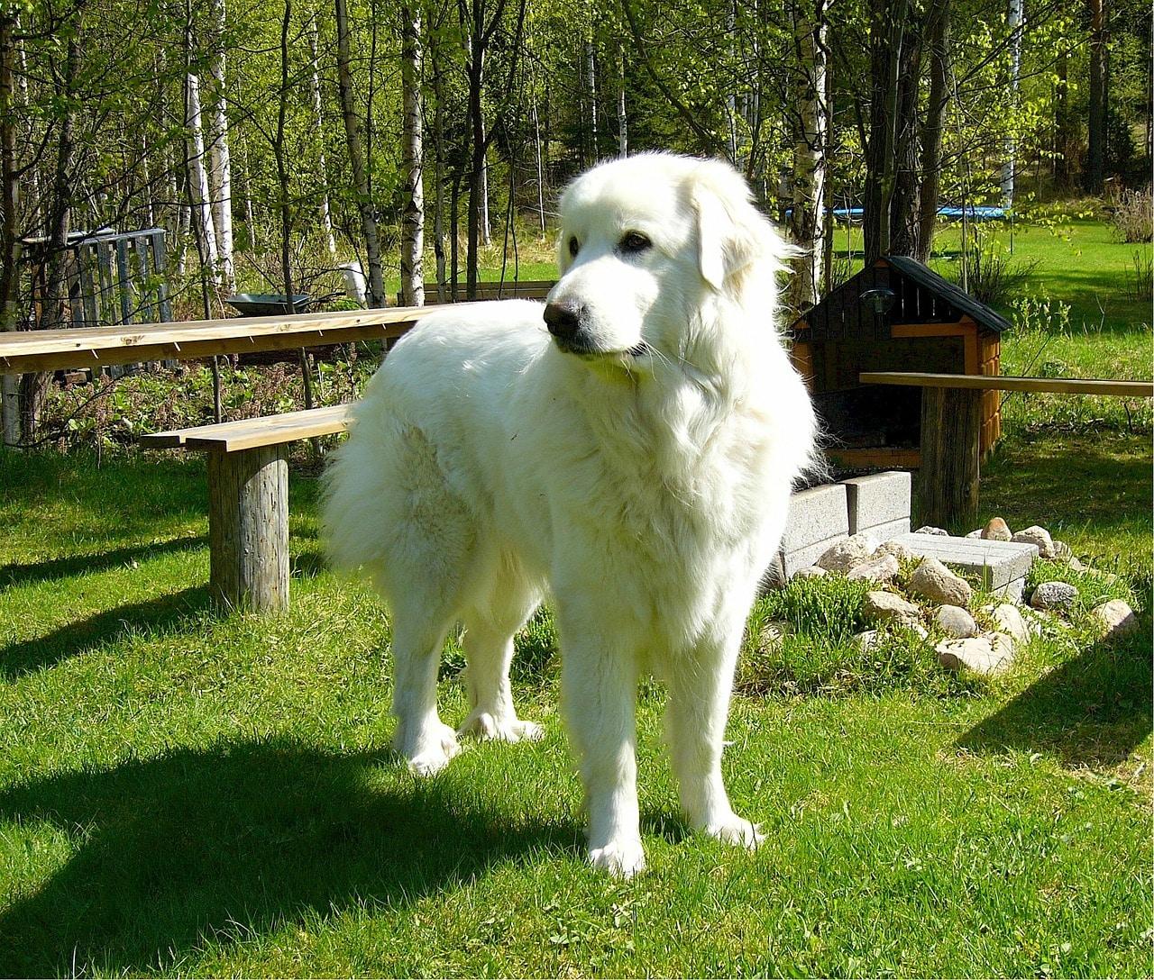 Der Pyrenäen Berghund ist sehr groß.