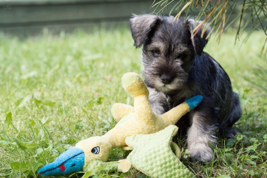 Zwergschnautzer als kleine Hunderasse in Großaufnahme