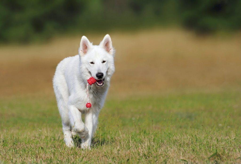 Auch der weiße Schäferhund liebt Hundespiele