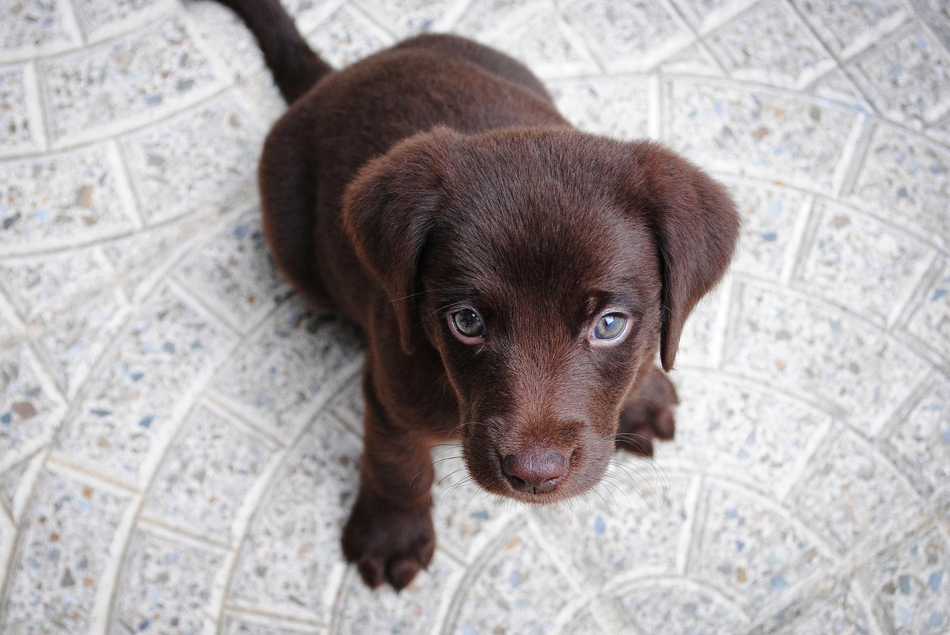 Auch der Labrador zählt als große Hunderassen.