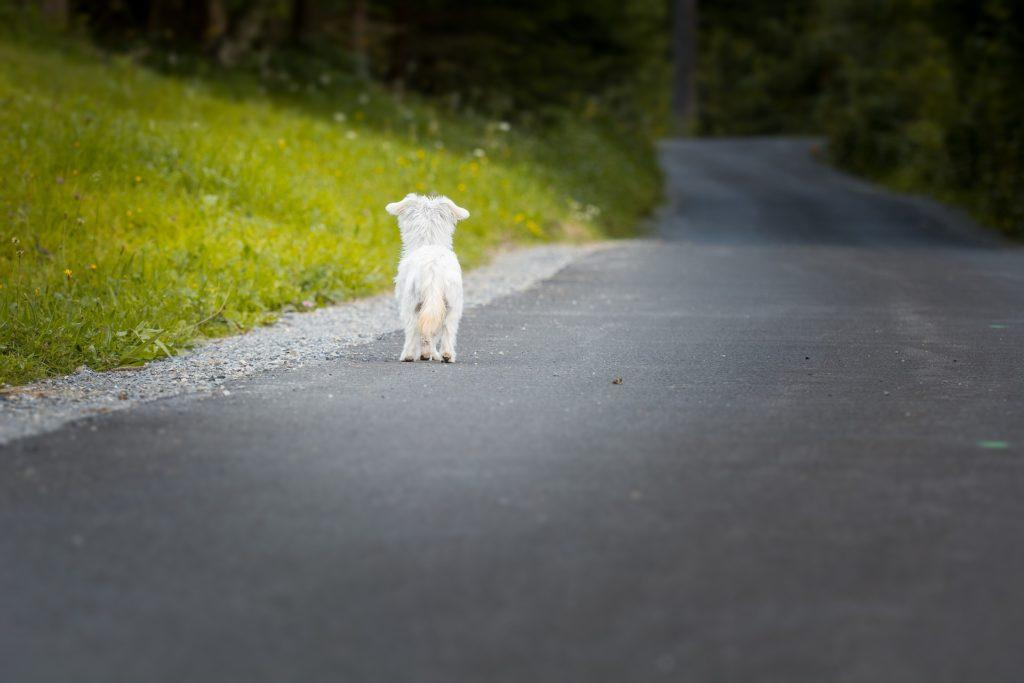 Ein kleiner Hund ist 2 Jahre alleine durch die USA gelaufen