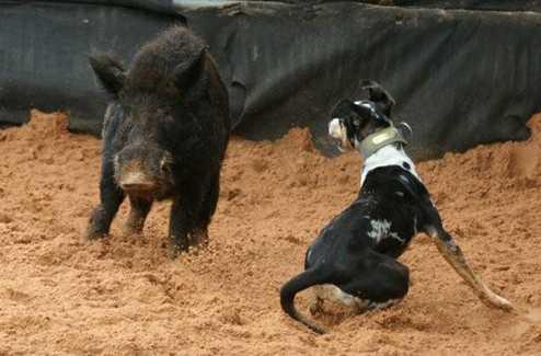 Ein Hund kämpft mit einem Wildschwein