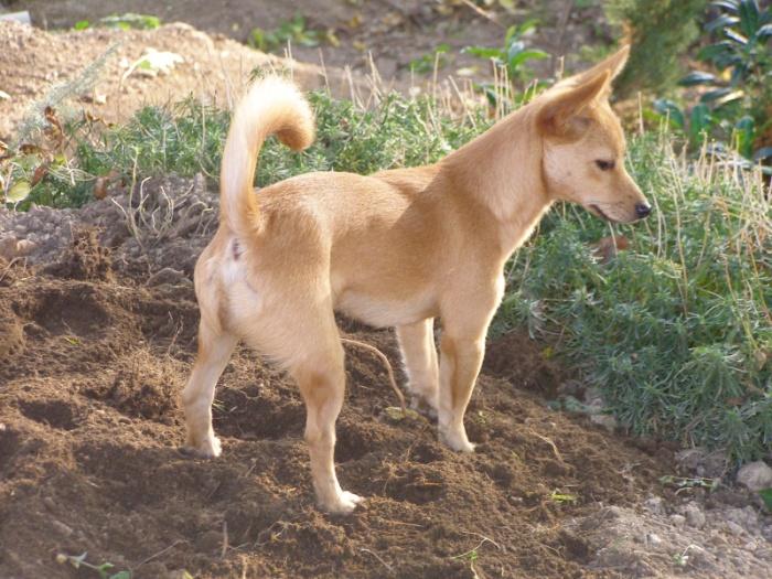 Der portugiesischer Laufhund ist sehr aktiv.