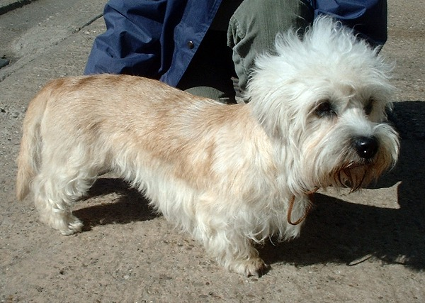 Der Dandie Dinmont Terrier ist eine außergewöhnliche kleine Hunderasse.