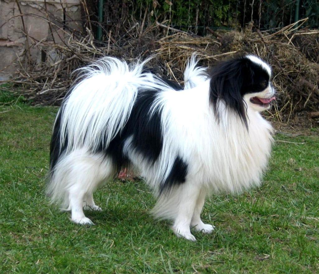 Der Japan Chin gehört zu den neuen Hunderassen.