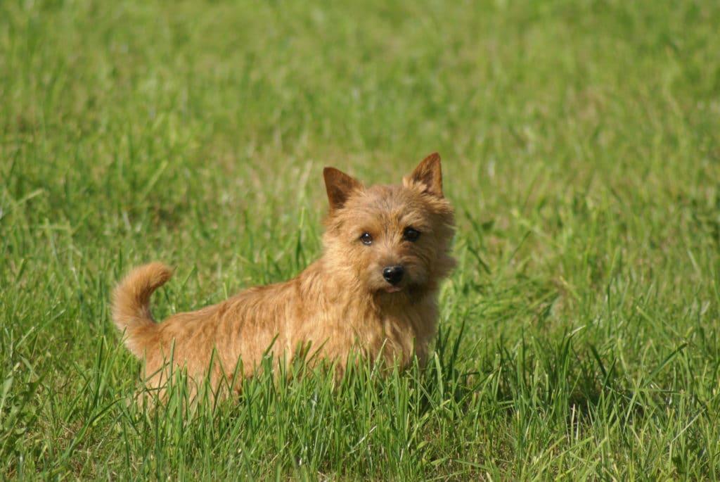 Der Norwich Terrier springt für seine Größe unglaublich hoch.