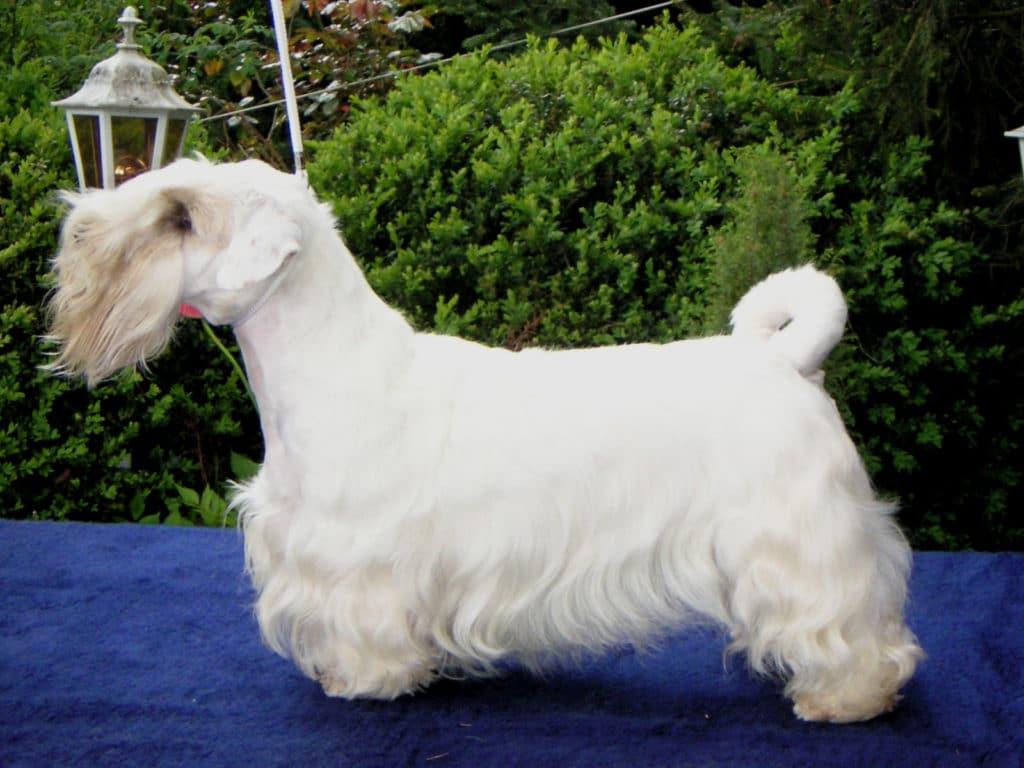 Der Sealyham Terrier ist ein perfekter Familienhund.