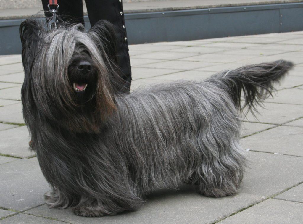 Auch der Skye Terrier gehört zu den kleinen Hunderassen mit Bildern.