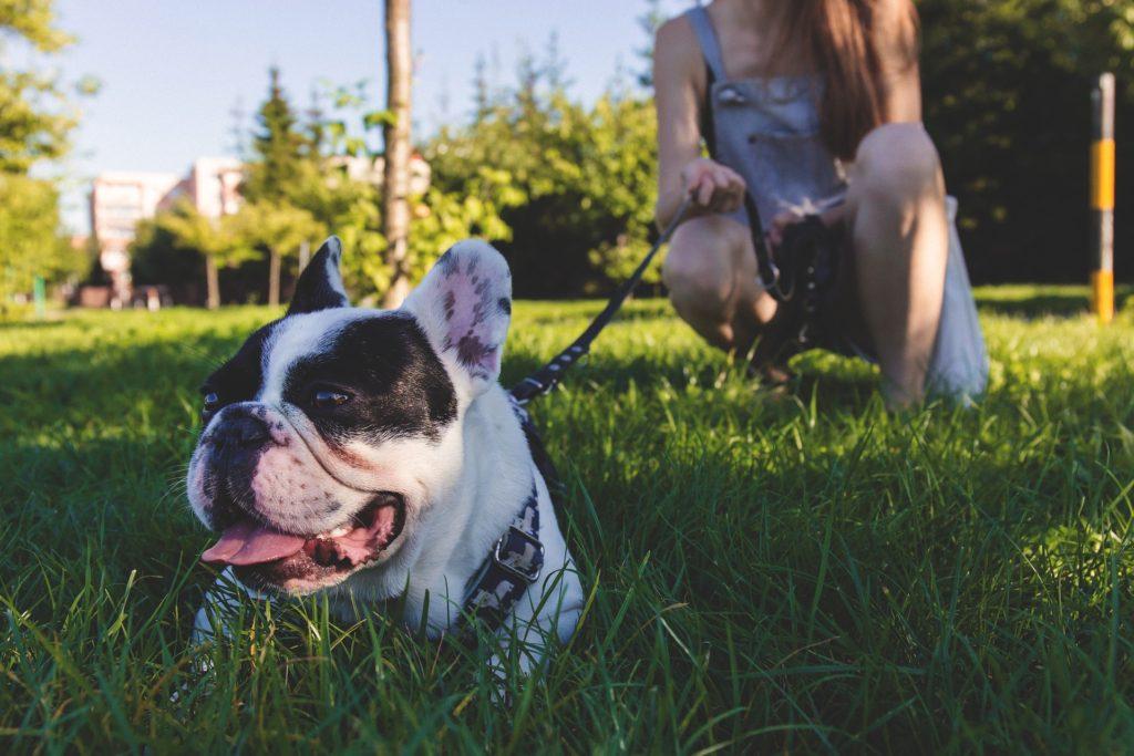Die französische Bulldogge wird immer beliebter.