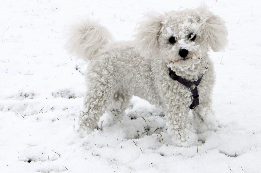 Bichon Frise ist eine kleine, aufgeweckte Hunderasse.