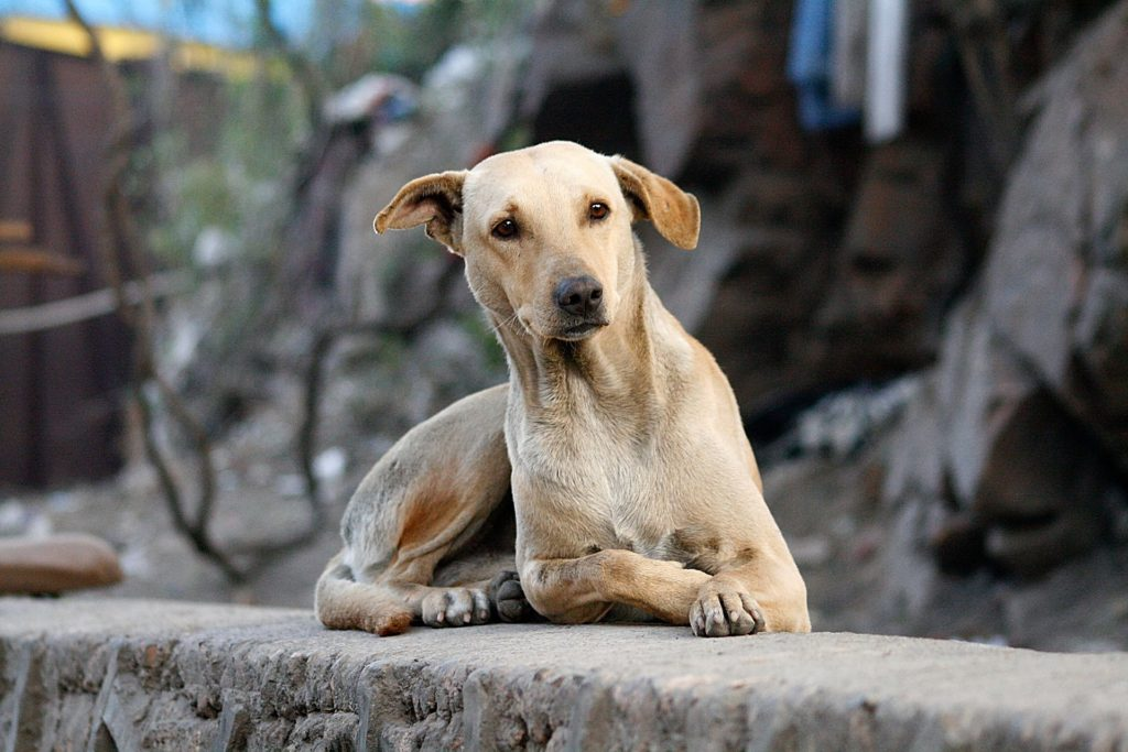 In der Hundesprache zeigen aufgestellte Hundeohren Interesse.