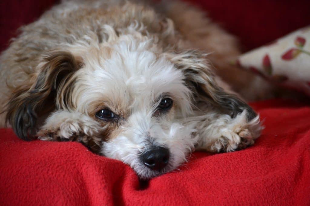 Den chinesischen Schopfhund gibt es auch mit zahlreichen Haaren.