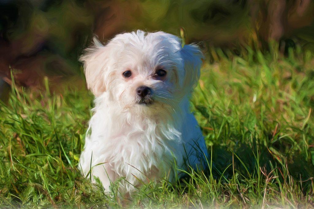 Der Malteser gehört zu den beliebtesten kleinen Hunderassen.