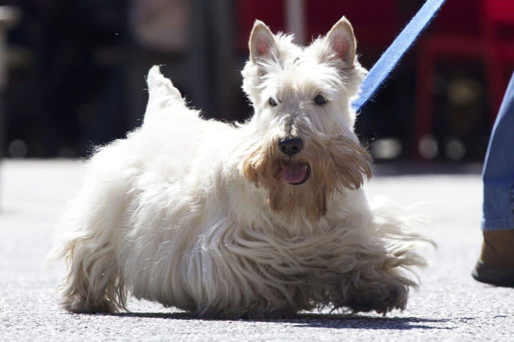 Der Scottish Terrier ist ein richtiges Kraftpaket unter den kleinen Hunderassen.