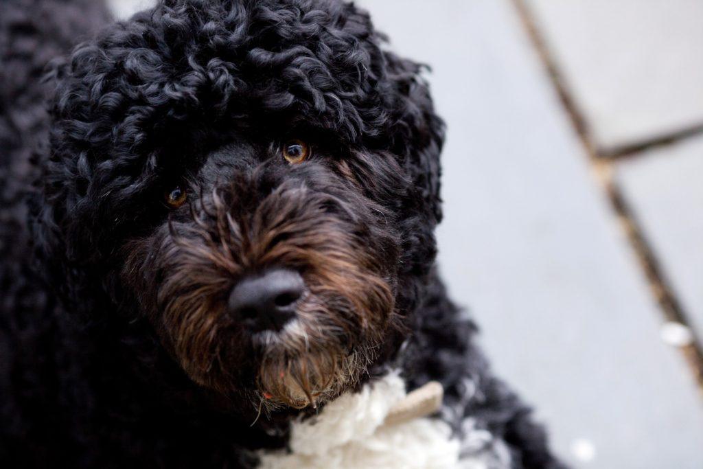 Der portugiesische Wasserhund ist nicht nur bei den Obamas beliebt.
