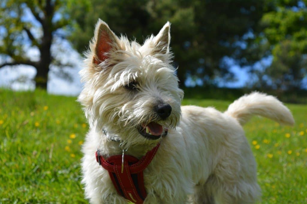 Der Cairn Terrier gehört zu den beliebtesten Hunderassen