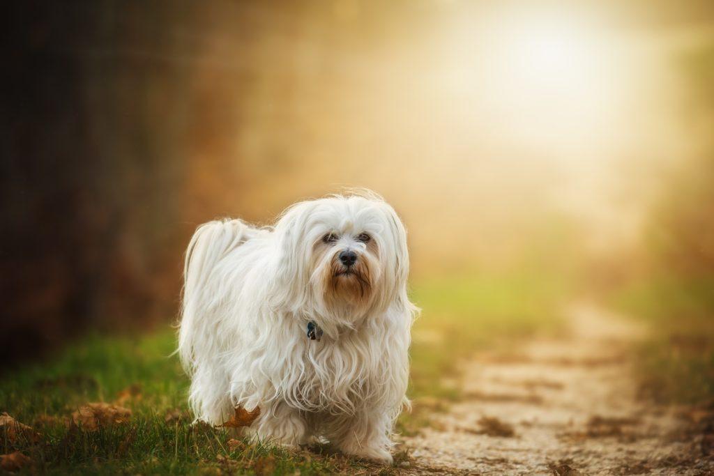 Auch der Havaneser Hund gehört zu den Hunderassen die nicht haaren