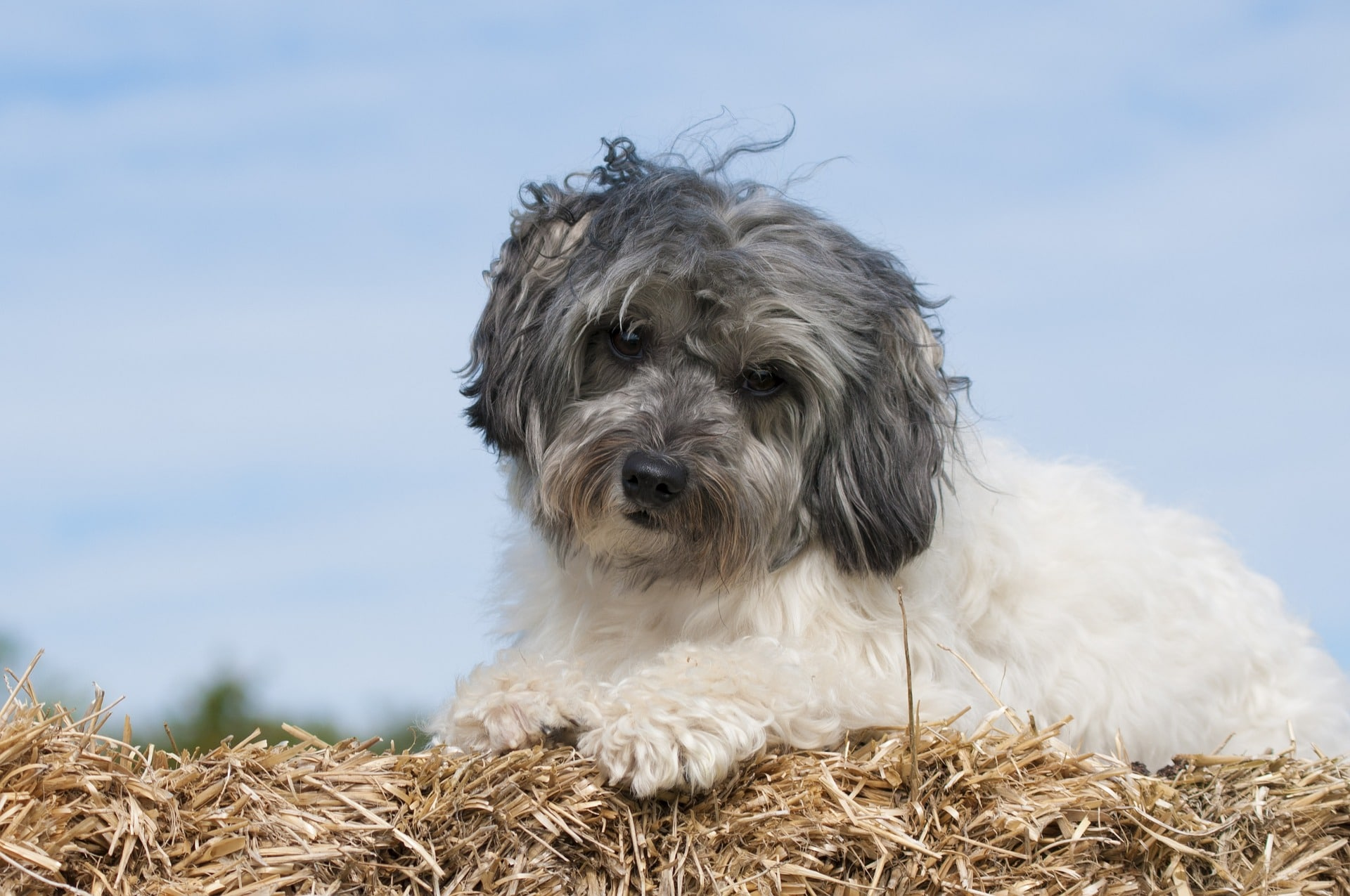 Breton Dog Breed