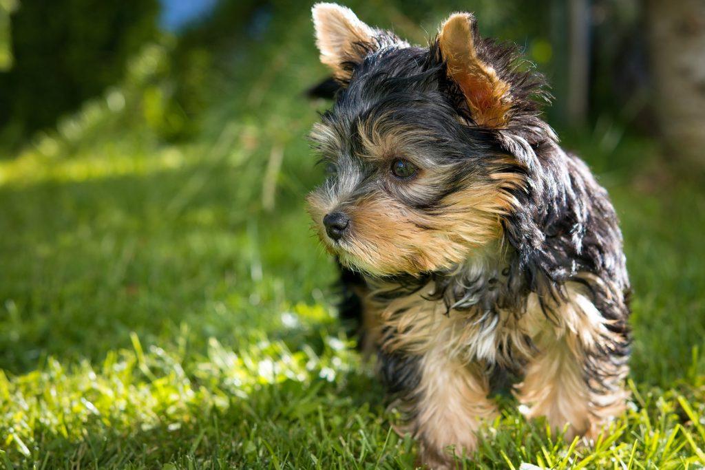 Ein Yorkshire Terrier ist nur ein Schoßhund.