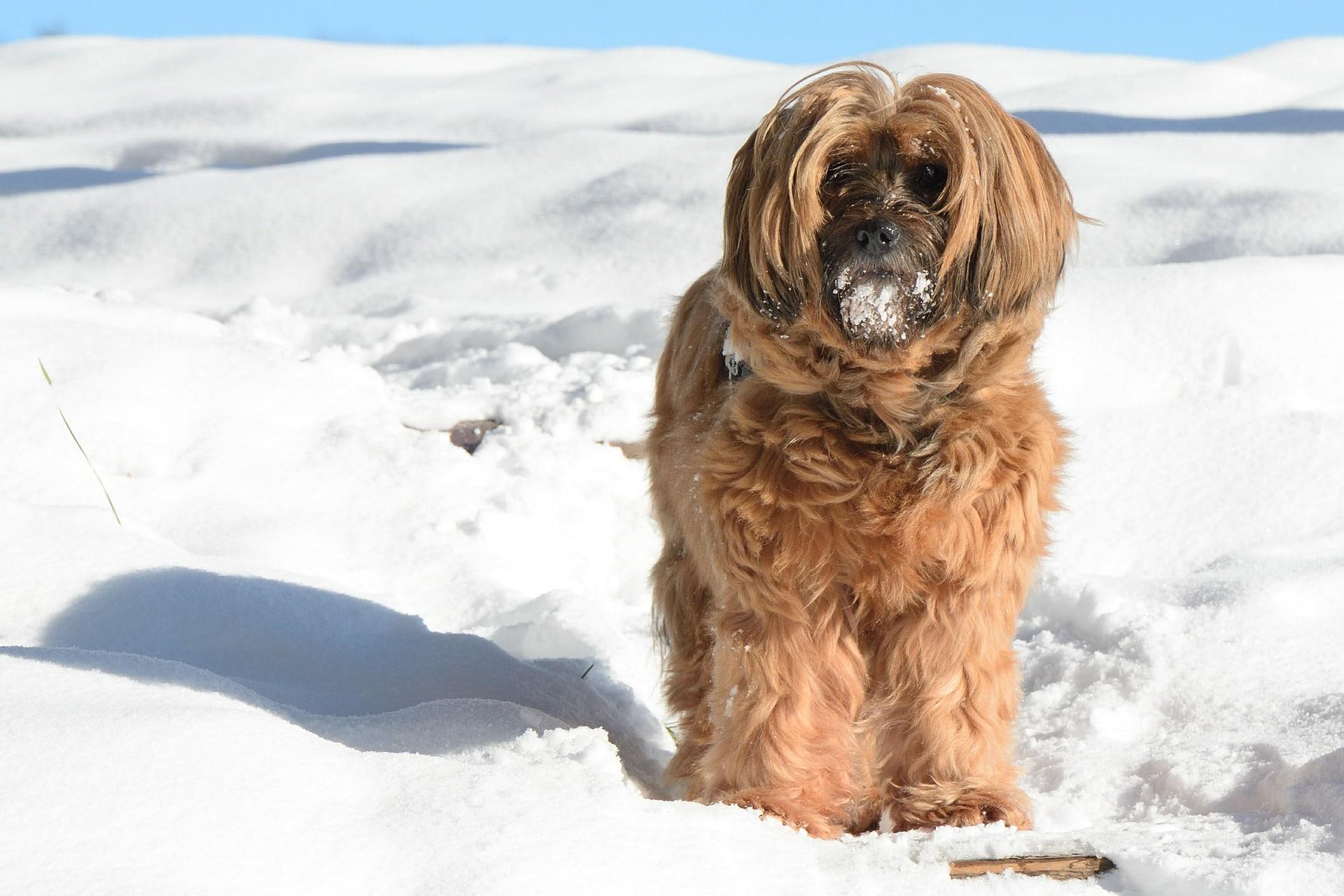 Der Tibet Terrier ist eine relativ kleine Hunderasse die nicht haart